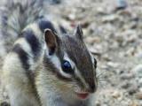 金花幼崽松鼠,也叫花栗鼠