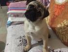 巴哥犬舍纯种巴哥犬 保证健康 CKU认证犬业专业