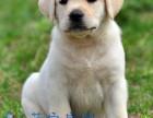 拉布拉多专售区 纯种拉布拉多幼犬出售拉不拉多价格
