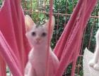 家养小白猫蓝眼睛