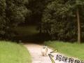 cku注册犬 成年柯基 配种进