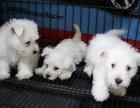 家养宠物狗狗 西高地犬 纯种幼犬活体 苏格兰 西高地白梗犬