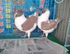 观赏鸽~淑女鸽~摩登娜鸽~大鼻子鸽子~芙蓉鸽