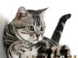 出售纯家养高品质纯种名猫虎斑猫保纯保健康