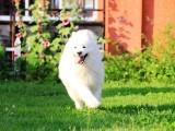 朝阳朝阳里卖纯种萨摩耶犬萨摩耶钱一只里卖健康的萨摩耶