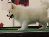 出售纯种萨摩耶幼犬 哪里卖健康萨摩耶多少钱 萨摩耶价格