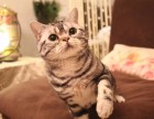 昆明哪里有美短猫虎斑加白卖 纯血统 萌翻你的眼球 品质保障