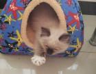 3个月大的赛级布偶猫 手套色 小公猫