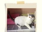 蓝白成年母猫,梵文成年公猫,英国短毛猫