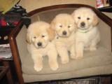 杭州金毛犬一本地养殖狗场一直销各种世界名犬 常年售卖
