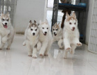 信誉保证 出售哈士奇幼犬-保纯种-保健康