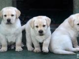 出售纯种 拉布拉多犬 导盲寻回犬 保证健康3个月