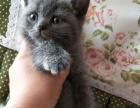 自家繁育英短蓝猫宝宝价格不高