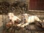 中国较大双血统杜高犬繁殖基地 可实地考察