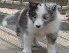 重庆出售纯种苏格兰牧羊犬,保健康包纯种可上门签协议