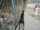天水哪里有卖打场格力犬的 纯种猎兔犬怎么卖的 鸿顺犬舍