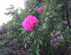 长沙的玫瑰花海