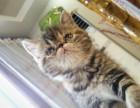 南宁家养加菲猫 黑黄 黄白黑三花 母猫 (包纯种健康