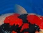 临汾锦鲤价格锦鲤图片锦鲤出售