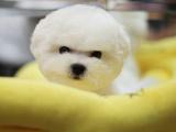 比熊幼犬钱一只 里可以买到比熊