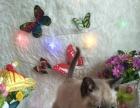特价处理家养的猫咪,暹罗猫咪