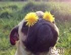 快乐的小巴哥犬,囧个脸短毛干净利索保证纯种健康