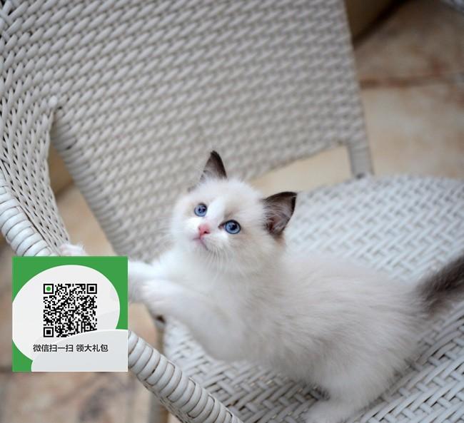 楚雄在哪里卖健康纯种宠物猫 楚雄哪里出售布偶猫