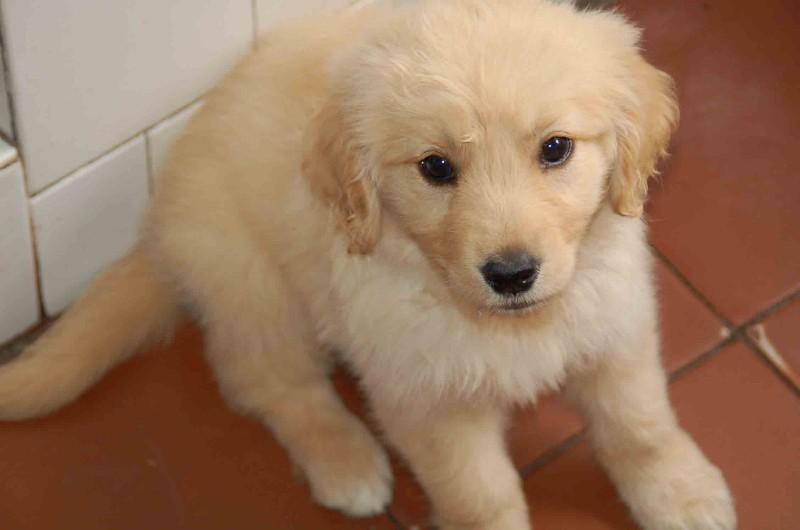 出售纯种 金毛犬 包犬瘟包细小 保证健康