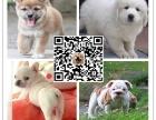 出售活体纯种韩系熊版萨摩耶犬 白色微笑天使幼犬