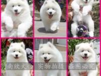 深圳自家养殖萨摩耶幼犬出售 疫苗齐全 带证书 包健康