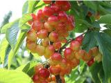 樱桃经销 好吃红灯笼樱桃 个头大酸甜樱桃 长期批发樱桃 新鲜