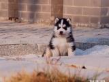 哈士奇幼仔多少钱一只 宁波哪里能买到哈士奇狗狗