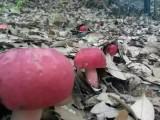 苏州野生红菇多少钱可以买到 //去哪里买呢?