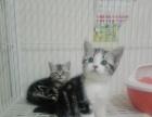 英短蓝白渐层蓝猫美短加白小可爱找新家!