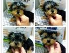 上海哪里有卖纯种家养约克夏上海约克夏幼犬多少钱一只约克夏图片