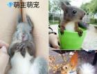 魔王松鼠,雪地黄山松鼠等松鼠幼崽(其他宠物)