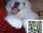 德精品赛级纯种大白熊 毛量足 品相佳 售后有保障