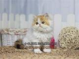 出售大眼可爱健康活泼波斯猫高贵优雅下单送用品