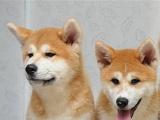 名犬秋田 忠犬八公 高品质优秀伴侣犬