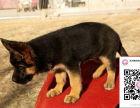 哪里有卖德国牧羊犬 出售纯种德国牧羊犬犬舍在哪里