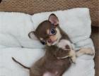 纯种吉娃娃幼犬宝宝出售 品质可靠 疫苗齐全