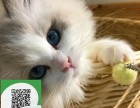 绵阳哪里有宠物店 绵阳哪里卖宠物猫便宜 绵阳布偶猫价格