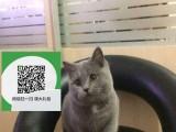 南通哪里卖蓝猫 南通哪里有宠物店 南通哪里卖宠物猫便宜