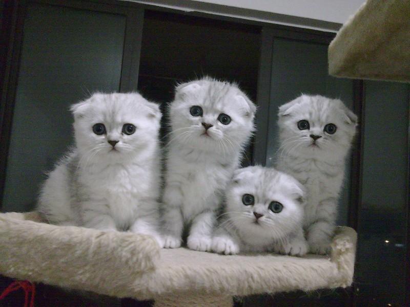 精品苏格兰折耳猫蓝白蓝猫渐层包子脸幼崽/多色可选/包纯种健康