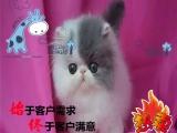 签质保协议 纯种健康 好血统 波斯猫出售