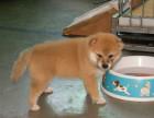 哪里有纯种的柴犬 日本柴犬什么价位 柴犬是小型犬