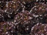 直供紫色橡叶生菜 瑞克斯旺品种 安全营养