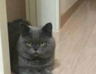 养殖场直销高贵气质蓝猫出售中包纯种保健康