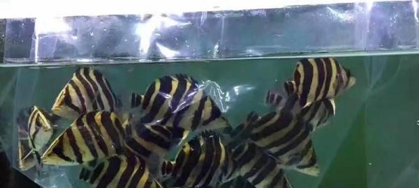 印尼虎-精品印尼四纹虎虎大量现货