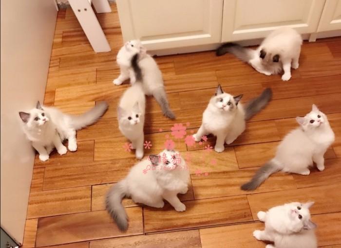 布偶猫多少钱一只 长沙哪里有卖布偶猫 布偶猫图片